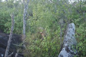 A land Iguana hiding