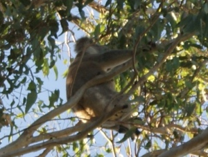 Koala sitting high up in the trees trying his best to ignore us