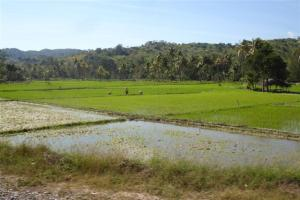 Paddy fields growing rice