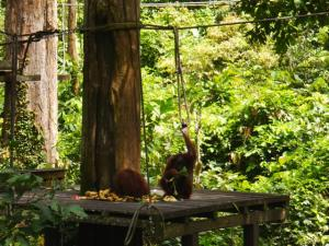 Orang-utans feeding