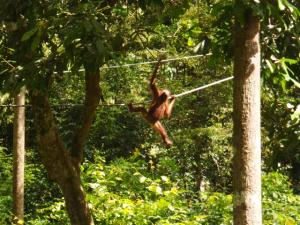 Orang-utan swinging through the trees