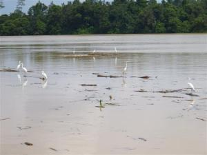Egrets balancing on floating logs