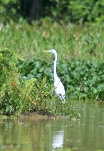 Egret in the lake