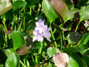 Blue water Hyacinth