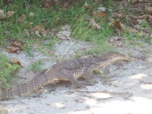 A monitor lizard prowling around the island
