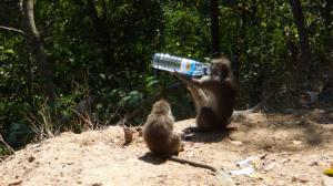 Monkey drinking from the bottle