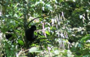Rare black monkey