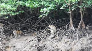 Monkeys among the mangroves
