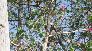 A Hornbill in the trees