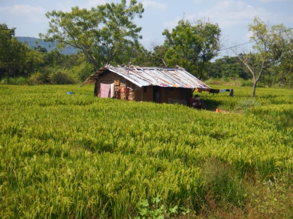 Little house among the paddy fields