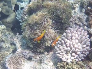 Clown fish or Nemo