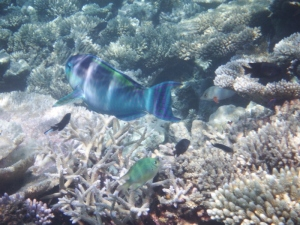 Beautiful iridescent blue parrot fish