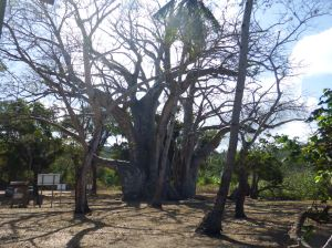 A type of Baobab tree