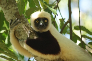 A beautiful Sifaka