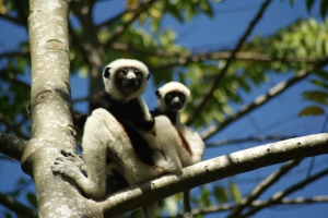 More Sifakas