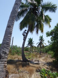 Once in the coconut plantation one of them climbed a tree and cut down coconuts for everyone