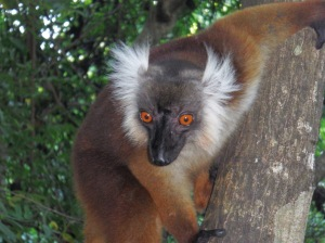 Male brown lemur