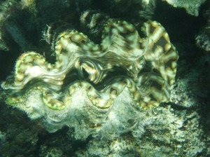 Beautiful giant clam