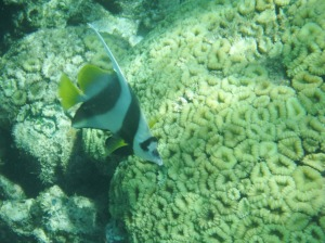 Nice brain coral with an angel fish