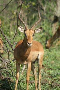 A magnificent male impala