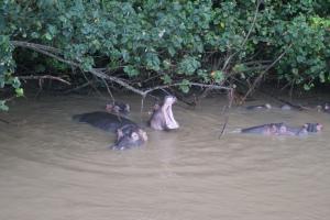 A hippos yawning.