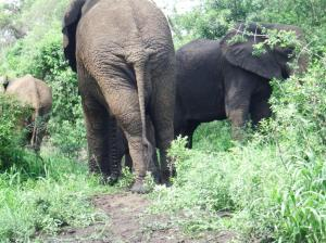 The baby elephant is behind the right hand elephant.