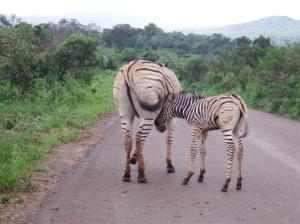 Mother zebra with a baby feeding