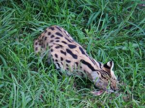 The stunning Serval