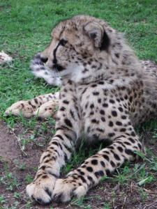 Baby cheetah. I was standing about 3ft away from him.