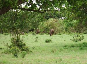 ..... watching Wildebeest