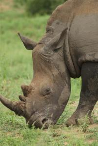 A female white rhino
